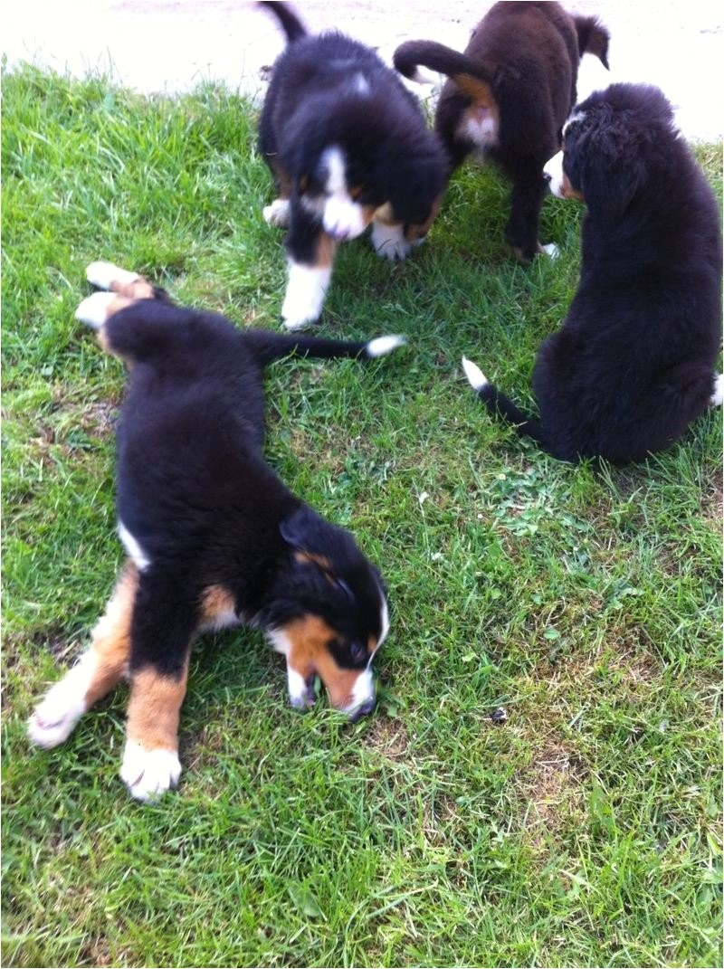 bernese mountain dog puppies for sale in boston 237346