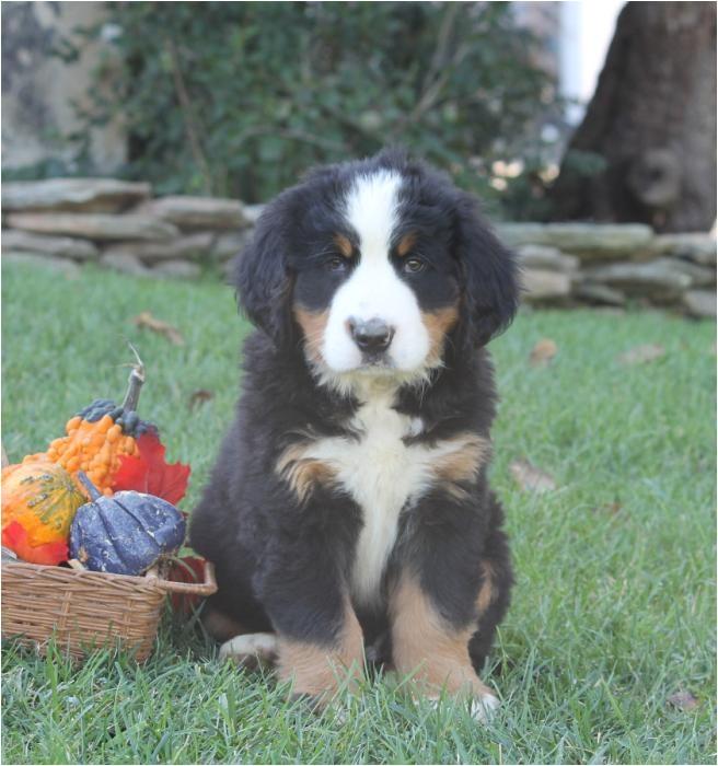sweet bernese mountain dog puppies 0