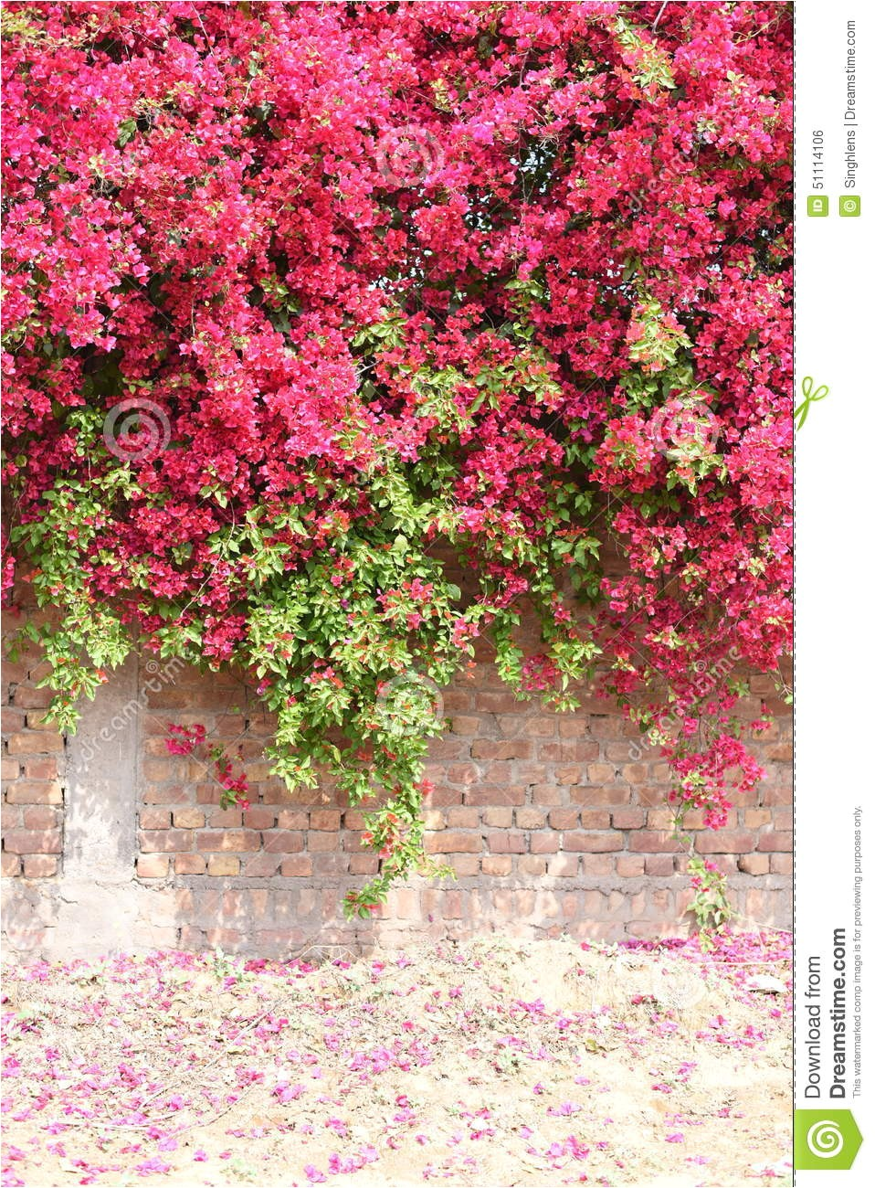 stock photo colorful bougainvillea full bloom concrete brick wall flower image51114106
