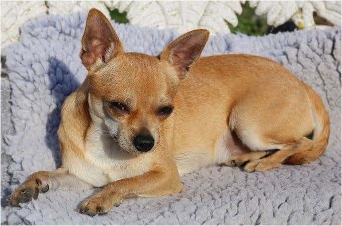 applehead chihuahua puppies for sale near me
