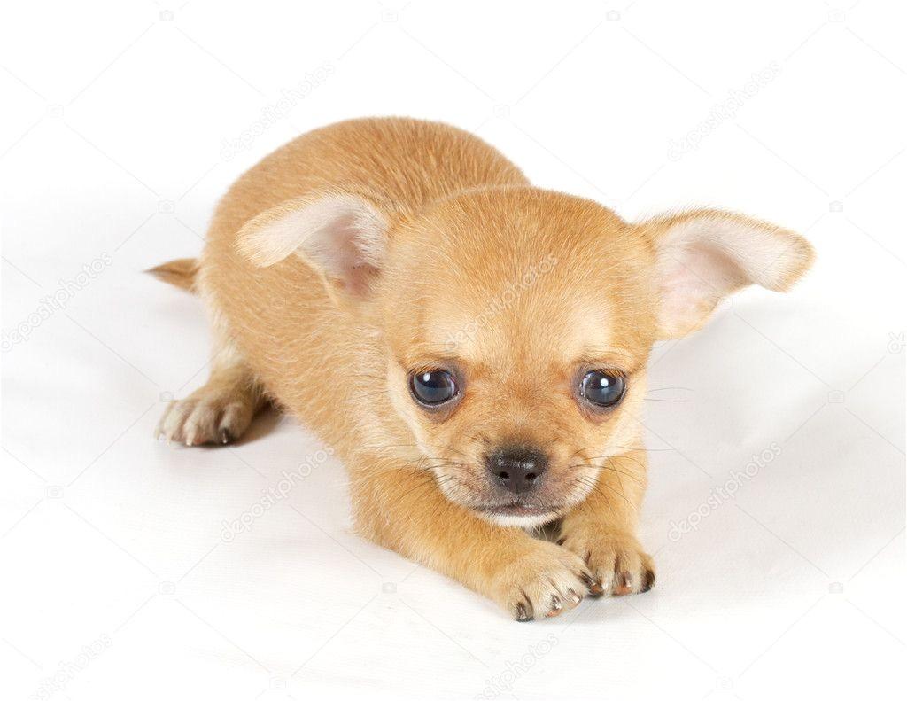 1022685 small chihuahua