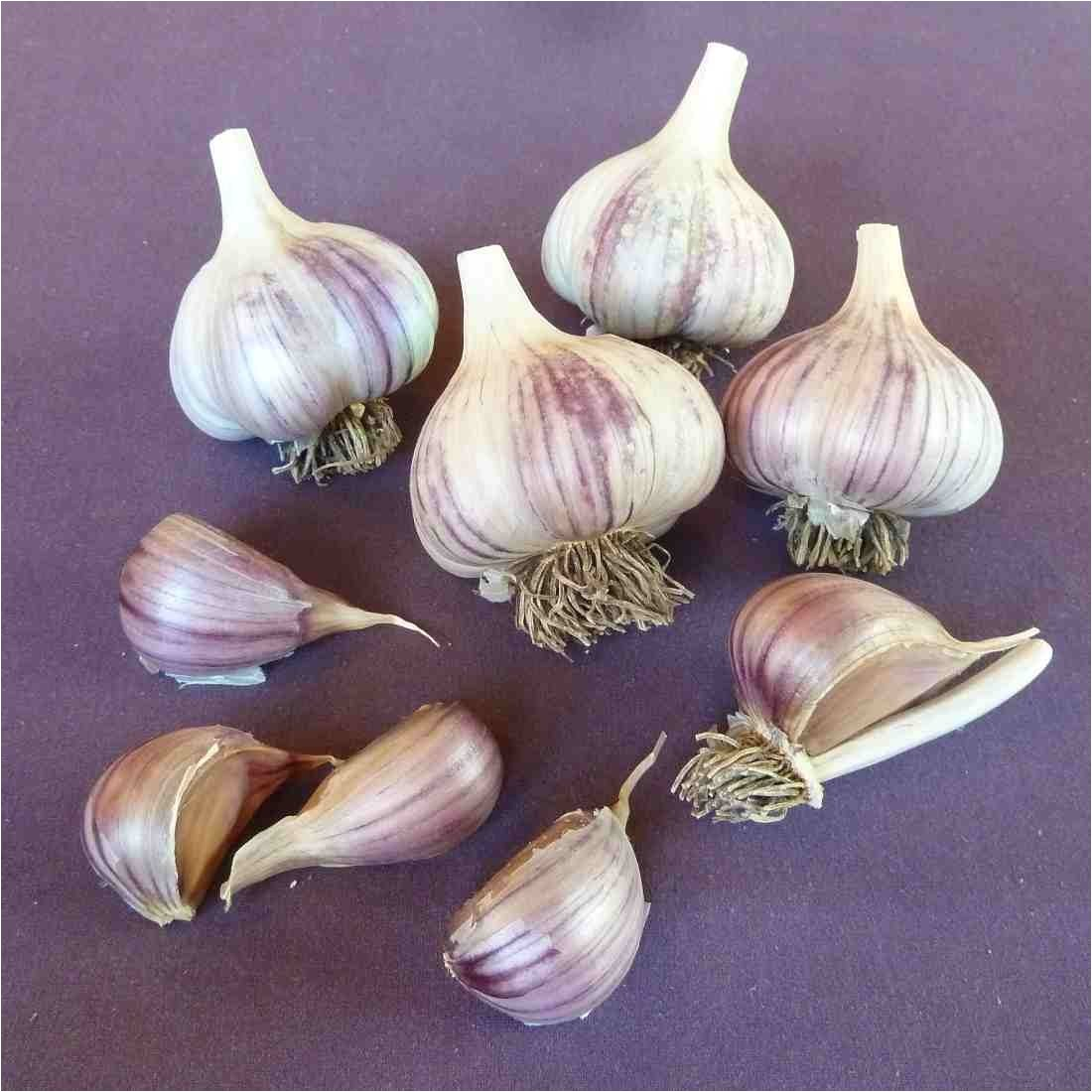 Hardneck Garlic Seed for Sale Online Store Seed Garlic for Sale Online Red Gate Garlic