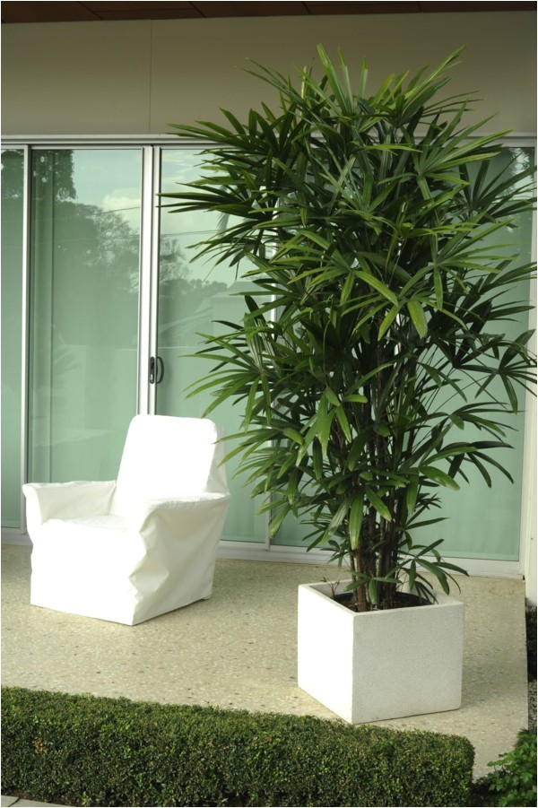 palm species houseplants rhapis excelsa is one of the most popular indoor palm plants