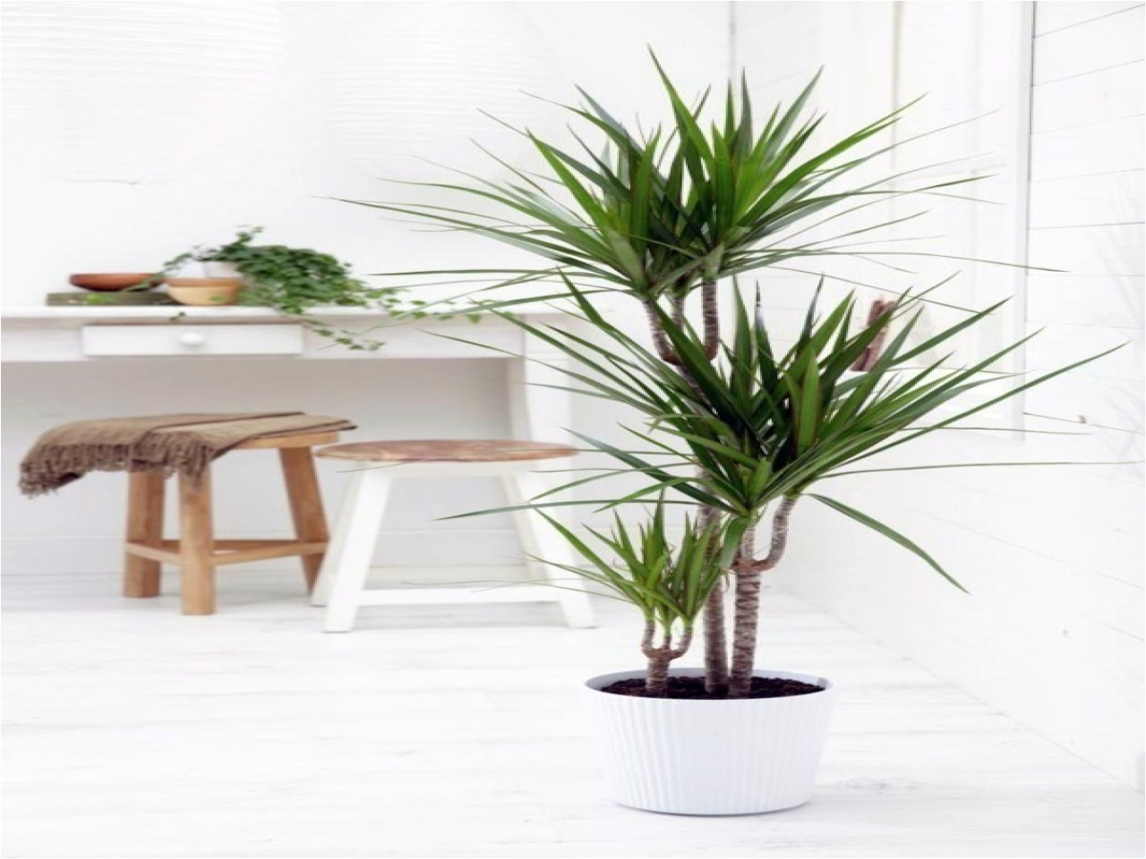 Kinds Of Indoor Palm Trees Tropical Room Decor Small Indoor Palm Trees Indoor Plants