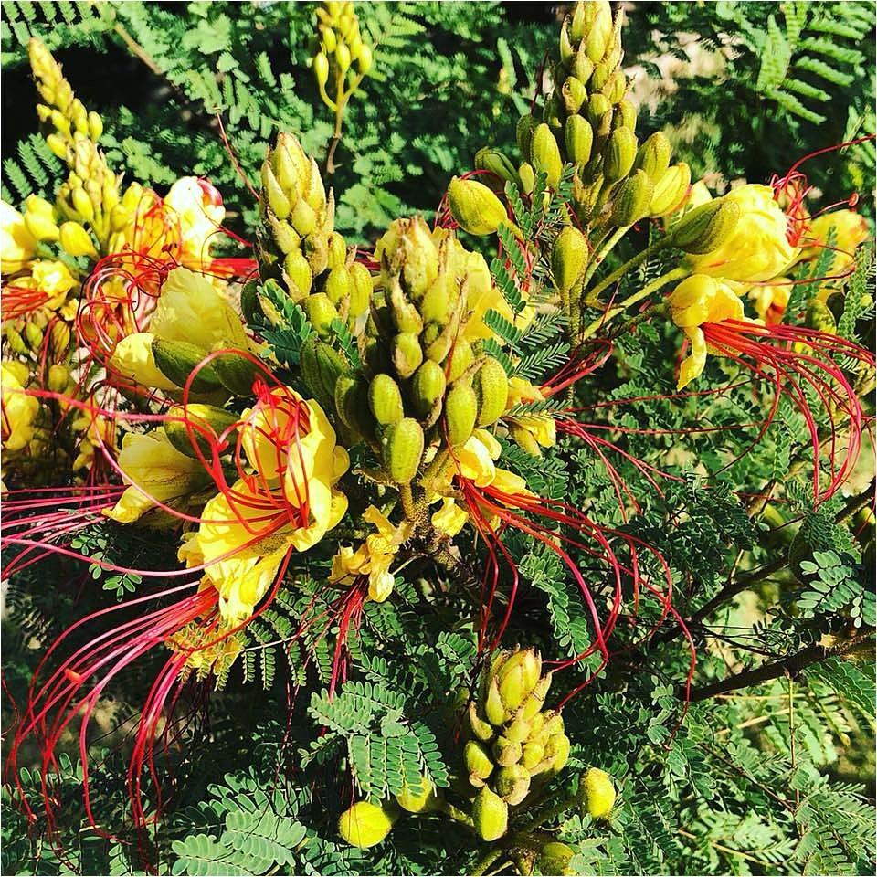 Northeast Plant World Nursery El Paso Tx Hidden El Paso Gem the northeast Plant World Edition