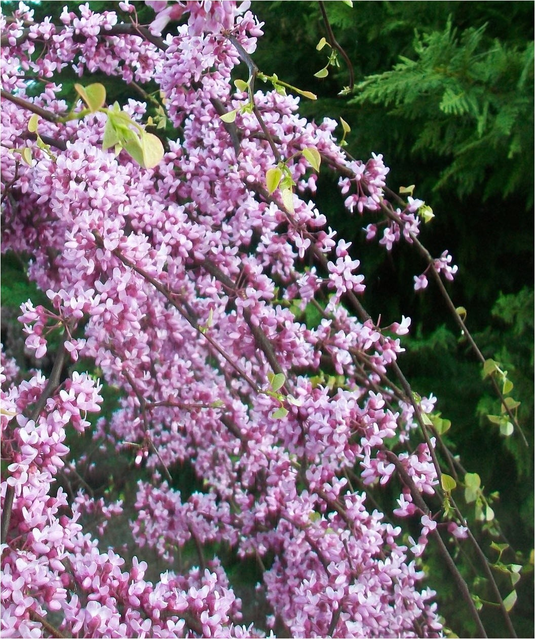 Pink Heartbreaker Weeping Redbud Pink Heartbreakera Redbud Low form