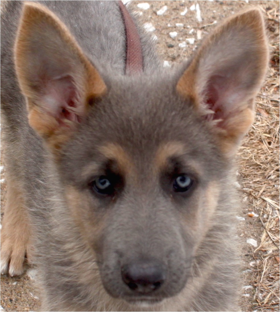 Powder Blue German Shepherd Puppies for Sale Blue Powder German Shepherds for Sale