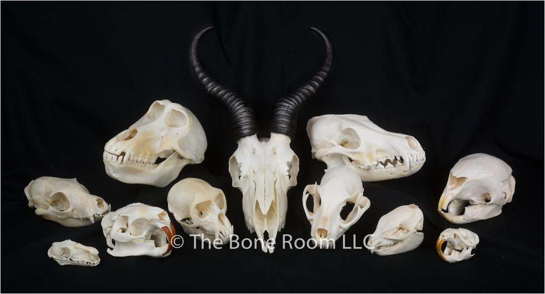 Real Animal Skulls for Sale Real Animal Skulls for Sale the Bone Room