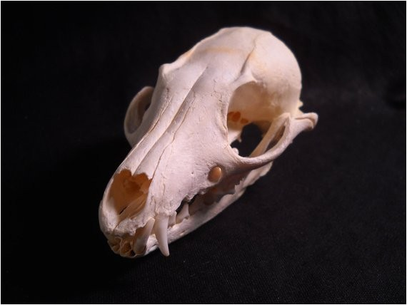real bone animal skull grey fox