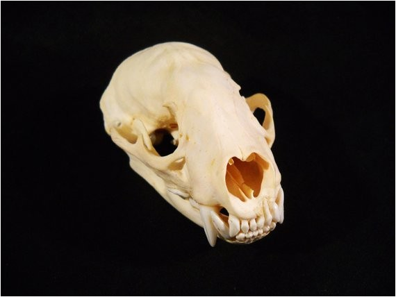 taxidermy real bone animal skull badger