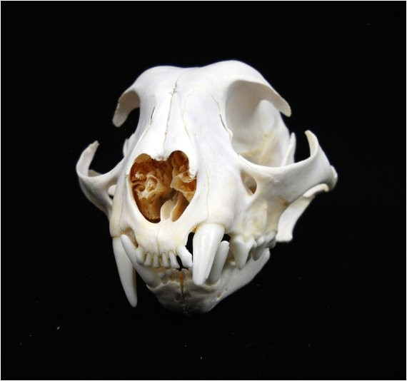 rare pathological bobcat skull real bone
