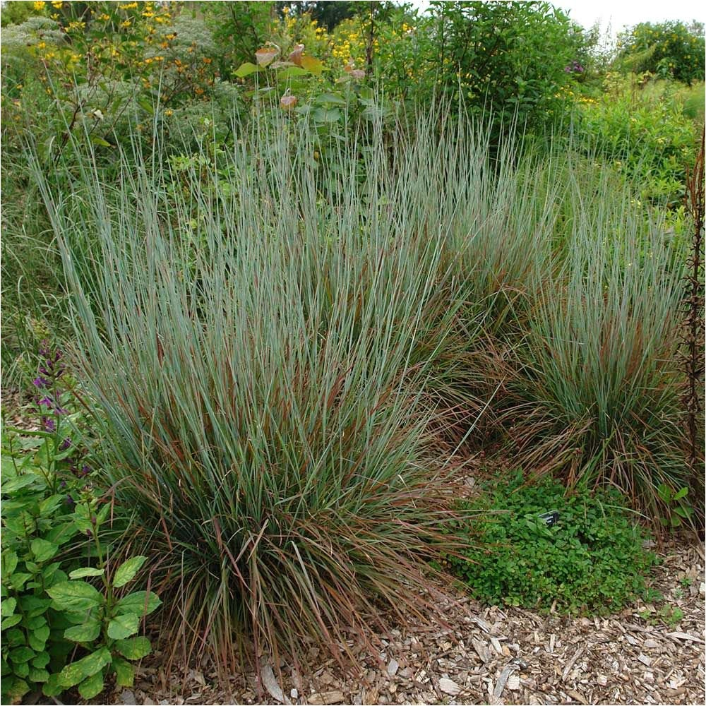 Schizachyrium Scoparium Standing Ovation ornamental Grass Schizachyrium Scoparium Standing Ovation White