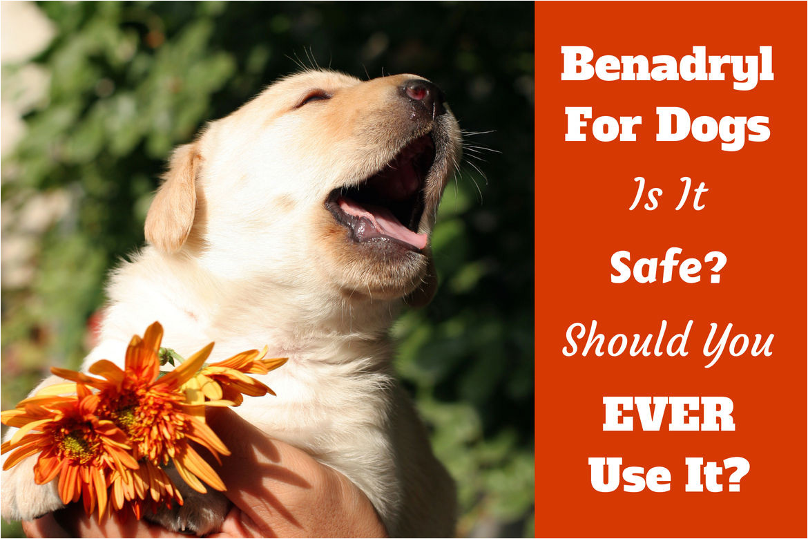 How to Euthanize A Dog with Benadryl How Much Benadryl Dosage for Dogs Antihistamine for Puppies