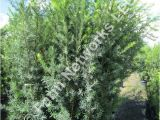 15 Gallon Podocarpus Price 15 Gallon Hedge Plants Homestead Hedge Plants 786 255