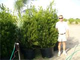 15 Gallon Podocarpus Price Podocarpus 15 Gallon Www Pixshark Com Images Galleries