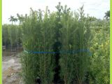 15 Gallon Podocarpus Price Podocarpus Hedge Plants Miami Plants Nursery Palm Trees