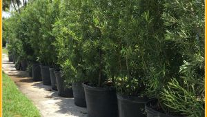 15 Gallon Podocarpus Price Podocarpus Hedge Plants Miami Plants Nursery Palm Trees