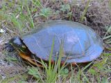 Above Ground Pond for Turtles Painted Turtle Misc Flora Fauna Photos by John Carlson
