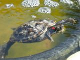 Above Ground Pond for Turtles Red Eared Slider Housing and Care