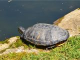 Above Ground Turtle Pond for Sale How to Encourage Basking for Your Red Eared Slider