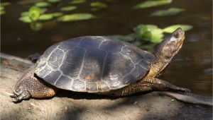Above Ground Turtle Pond Western Pond Turtle Turtles Pinterest Turtle Pond Turtle and