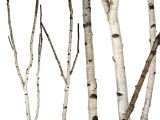 Birch Branches Hobby Lobby Birch forks 5 39 Up to 8 39