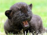 Black Panther Cubs for Sale Black Panther Cubs Panther for Sale Cub Big Cats 3