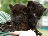 Black Panther Cubs for Sale Time for Our Close Up the astonishing Blue Eyed Gaze Of