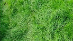 Boreal Creeping Red Fescue Creeping Red Fescue Grass Seed Festuca Rubra Seed World