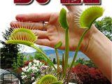 Dc Xl Venus Fly Trap Giant Dc Xl Venus Flytrap Carnivorous Plant Ebay