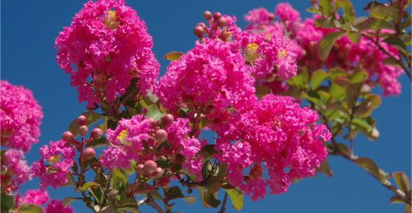 Double Feature Crape Myrtle why Does My Crepe Myrtle Have Brown Leaves