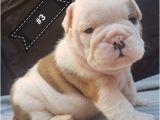 English Bulldogs for Sale In Ma English Bulldog Puppies for Sale Boston Ma 197104