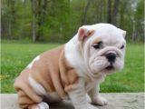 English Bulldogs for Sale In Ma English Bulldog Puppies for Sale Massachusetts Avenue
