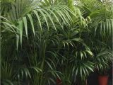 Fake Palm Trees for Sale Indoor Kentia Palm Tree Hire Supazaar Jungle theme Pinterest Palm