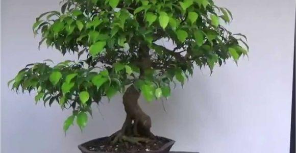 Ficus Microcarpa Bonsai Tree Care Bonsai Evolution Evolution Of A Ficus Benjamina Youtube