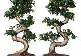 Ficus Microcarpa Bonsai Tree Care Pflanze Mit A Bertopf Ficus Microcarpa Ginseng Bonsai Versch Farben