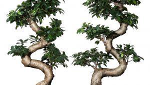 Ficus Microcarpa Ginseng Bonsai Pruning Ficus Microcarpa Ginseng Potteplante Med Urtepotte Bonsai