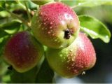 Fruit Trees that Grow In Florida Selecting Fruit Trees to Grow In northwest Florida Grow