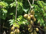 Fruit Trees that Grow In Florida the Great south Florida Food forest Project Archives the