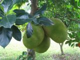 Fruit Trees that Grow In Florida Three Large Jack Fruit All Growing together On A Single