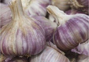 Hardneck Garlic Seed for Sale Garlic Seeds 100 Cloves Red Duke 10 Bulbs Ebay