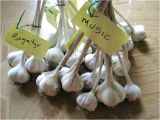 Hardneck Garlic Seed for Sale Hardneck Garlic Seed for Sale Balharbourhouse Com