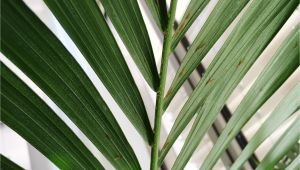 Homemade Fertilizer for Palm Trees How to Grow Palm Trees Indoors