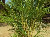 Homemade Fertilizer for Palm Trees the Right Palms to Grow Indoors Palms Online Australia
