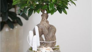 How to Take Care Of Ficus Microcarpa Ginseng Plant Arrangement White Beach You Can Create This Beautiful Natural