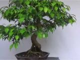 How to Take Care Of Ficus Microcarpa Ginseng Plant Bonsai Evolution Evolution Of A Ficus Benjamina Youtube
