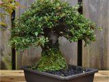 How to Take Care Of Ficus Microcarpa Ginseng Plant Dsc 0262 Bonsai Eejit Bonsai Pinterest Bonsai and Gardens