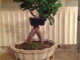 How to Take Care Of Ficus Microcarpa Ginseng Plant Ficus Bonsai Air Layering Abmoosen Bonsai Bonsai Bonsai
