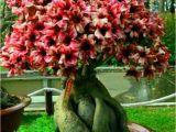 How to Take Care Of Ficus Microcarpa Ginseng Plant Pin by G A B Relu B On Bonsai Pinterest Bonsai