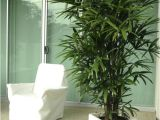 Kinds Of Indoor Palm Trees Palm Species Houseplants Rhapis Excelsa is One Of the